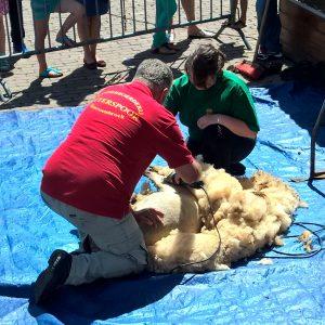 schapen scheren kinderboerderij Otterspoor